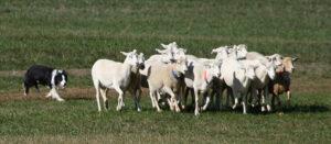 800px-Border_Collie_sheepdog_trial